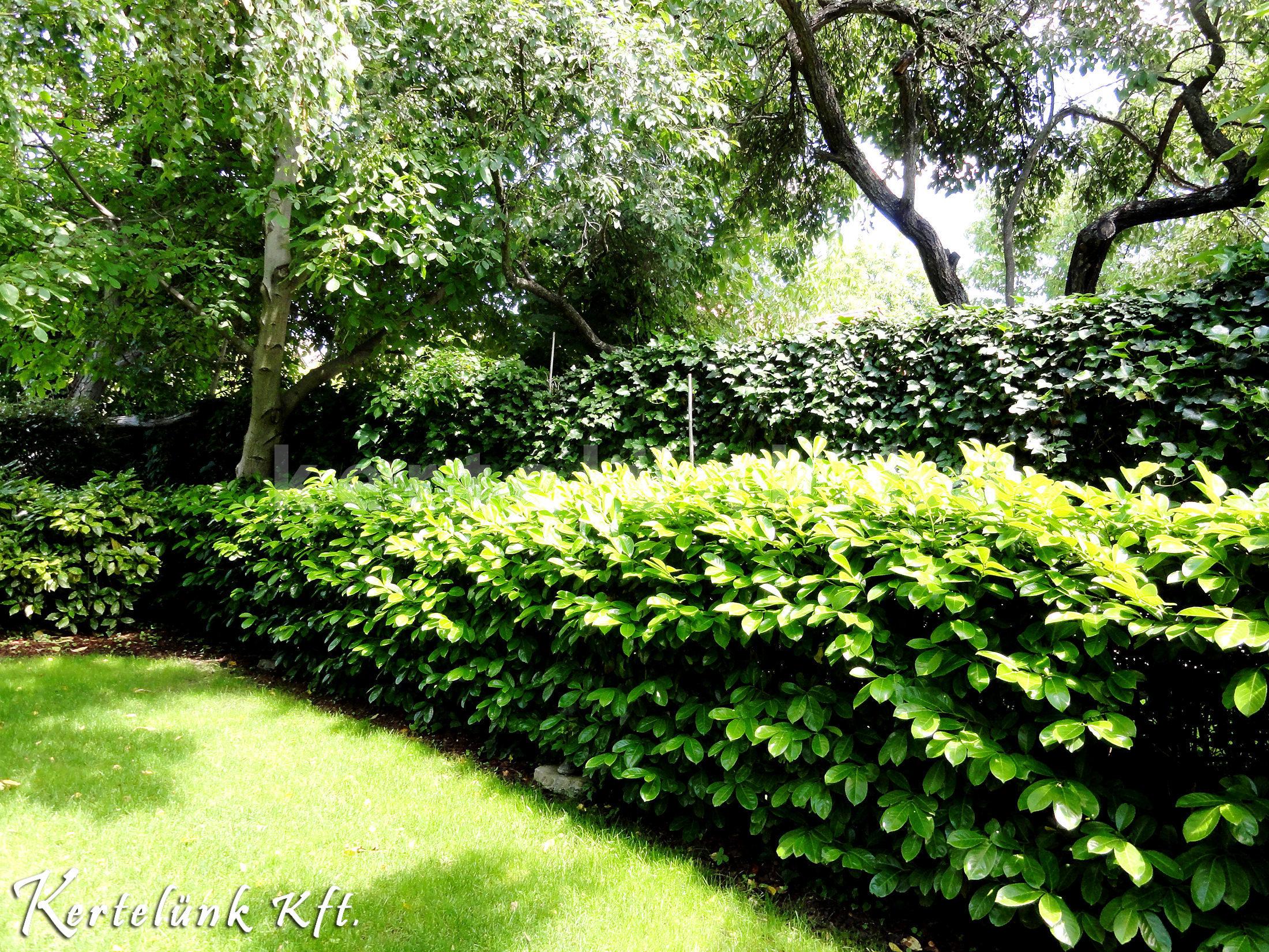Babérmeggy kerti sövény képe.