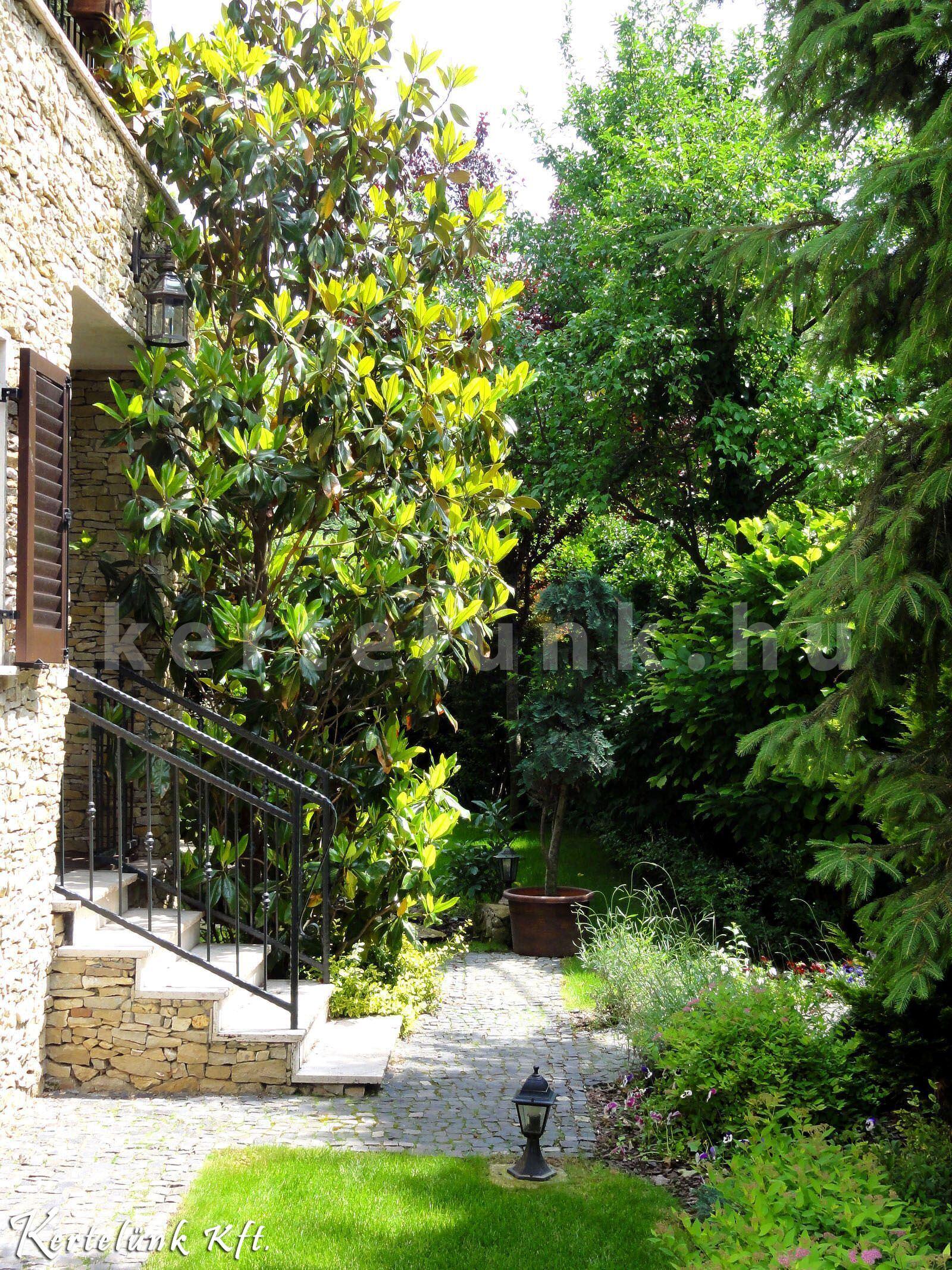 Mediterrán kertben meghatározó elem az örökzöld magnólia.