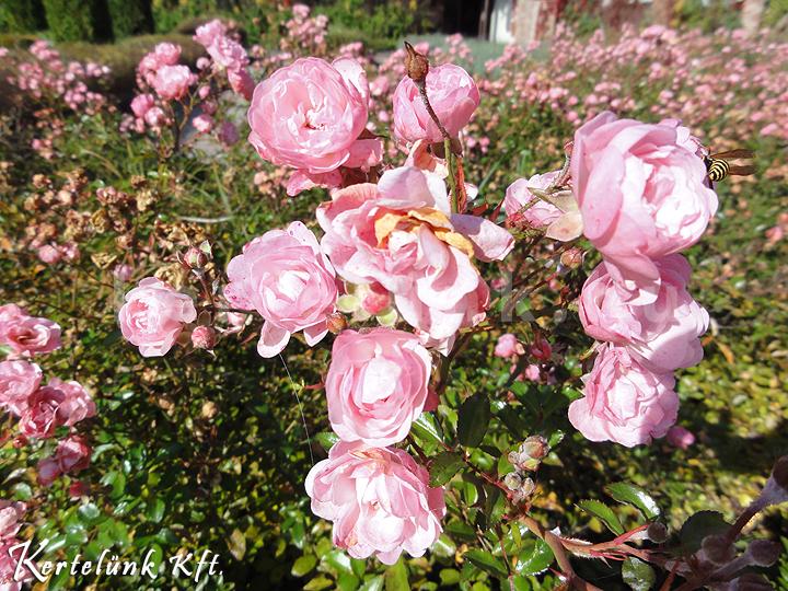 Rózsaszín rózsák.