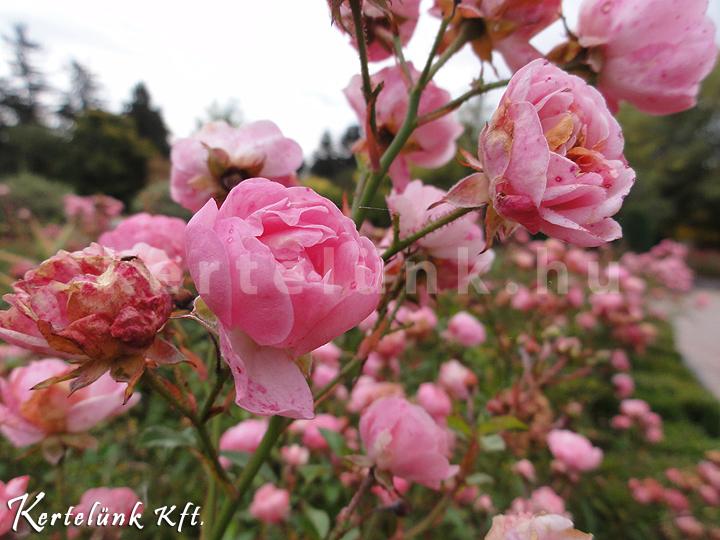 A rózsák is szeretik az őszt!