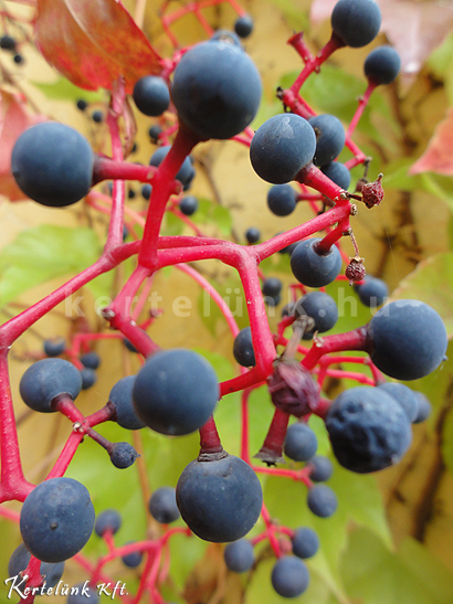 A vadszőlőt sokan szeretik.
