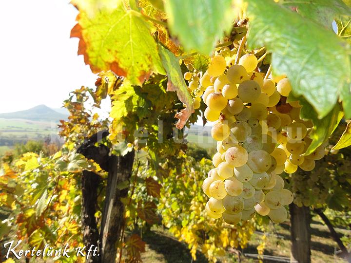 A szőlő az ősz jelképe.