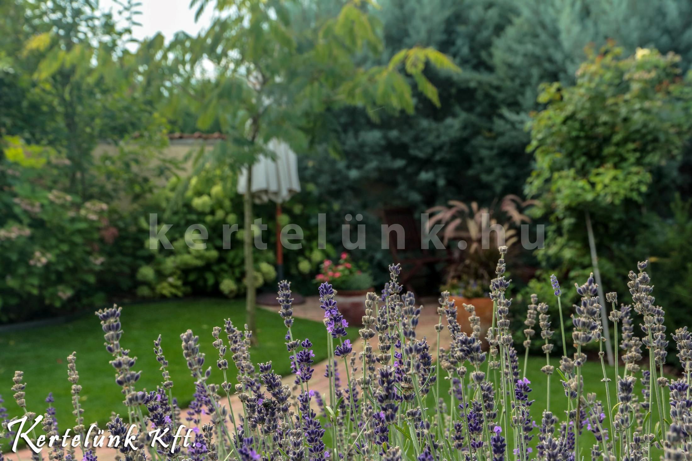 Előszeretettel használunk levendulát mediterrán kertekben.