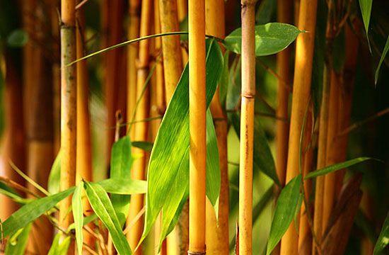 Tipikus modern kerti növény az aranyszárú bambusz. Nemcsak modern, de mediterrán kertekhez is jól illeszkedik.