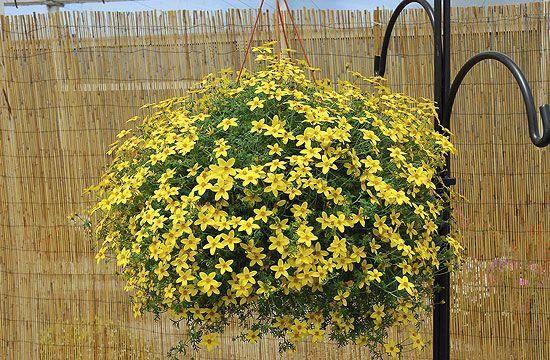 Közkedvelt növény a balkonaranya