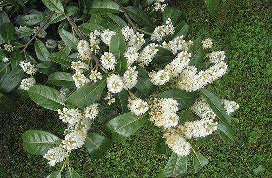 Babérmegy virága