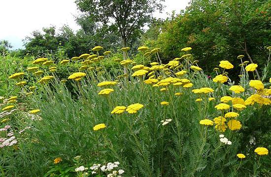 Kellemes sárga színe miatt kedvelt növény a cickafark