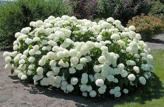 A cserjés hortenzia szinte bármelyik kertbe beilleszthető