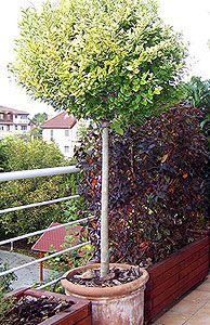 Fát is lehet ültetni a balkonládába