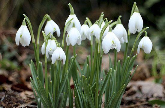 A tavasz jele a hóvirág