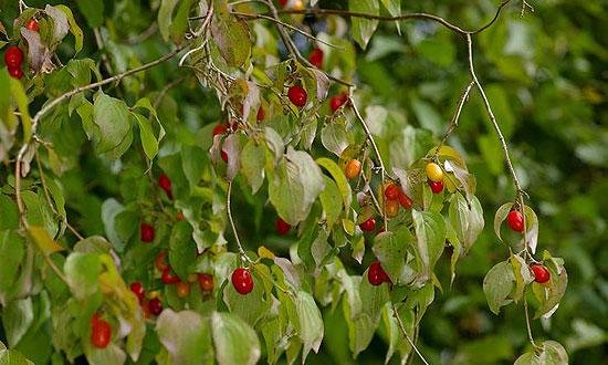Vörös termése van a súsos somnak