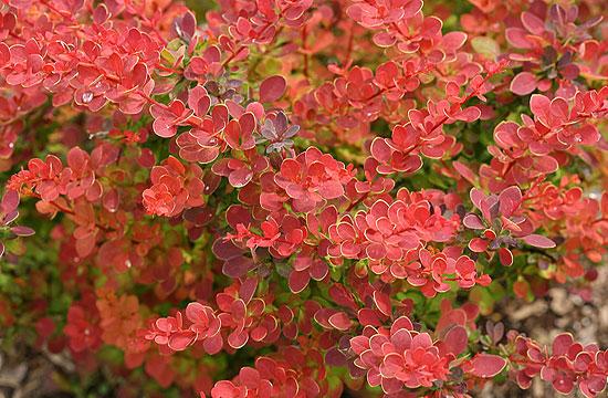Szintén vörös a borbolya