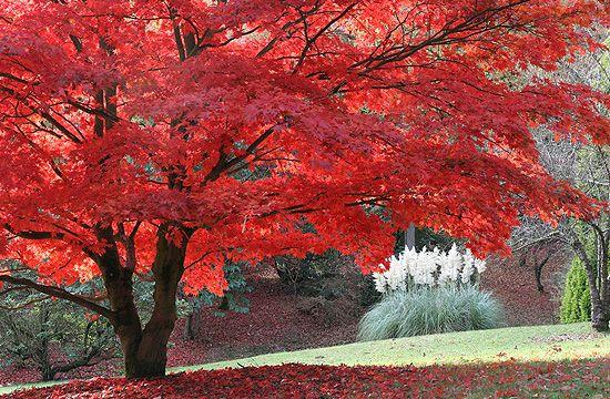 Különleges formája miatt a japán juhar kedvelt növény.