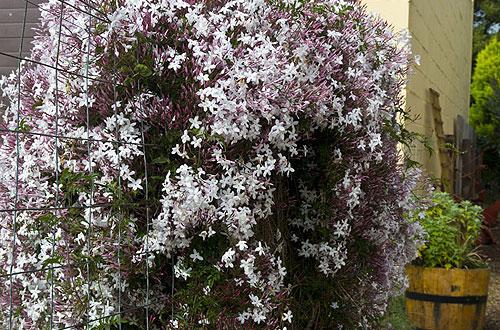 Tipikus mediterrán kerti növény a jázmin. Hazai viszonyok között is megél.