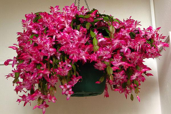 Több színben kapható a karácsonyi kaktusz