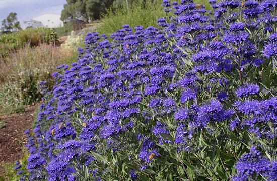 Tipkius kis kerti növény a kékszakáll