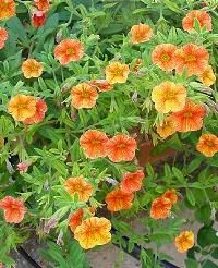 a narancs színű kerti petúnia