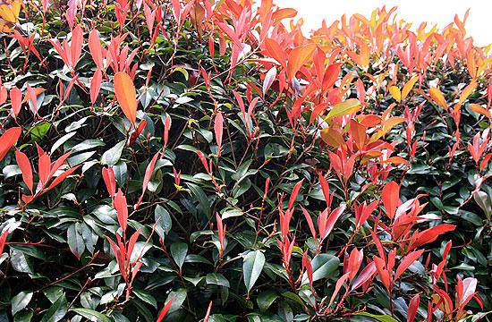 Vöröses színű sövény növény a korallberkenye