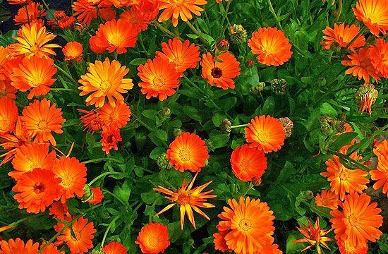 A körömvirágnak számos gyógyhatása ismert. Ezért is szeretik sokan.