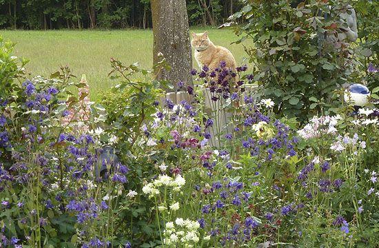 A színes kert alapeleme a közönséges harangláb