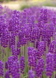 lilás színű levendula