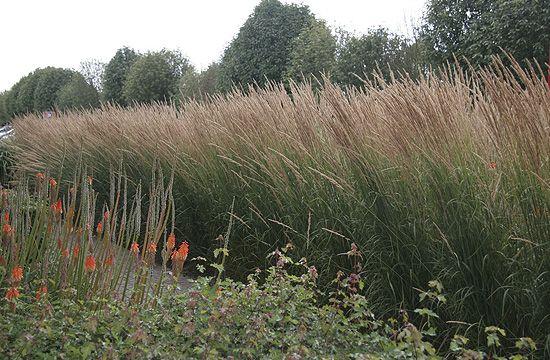 A nádtippan egy szárazságtűrő fűféle.