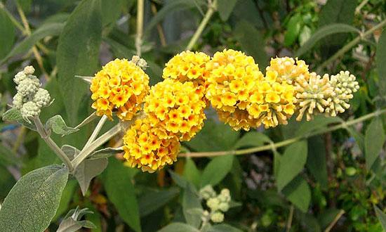 A leg élénkebb a sárga nyári orgona