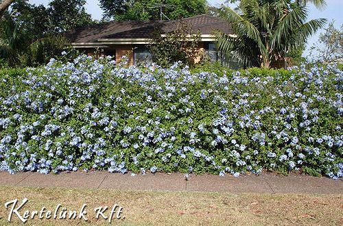 A jellegzetes mély kék ólomvirág