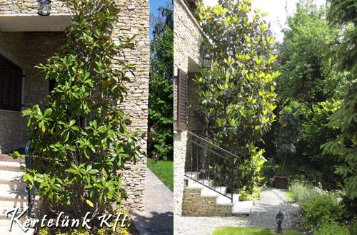 Egy igazi különlegesség, 6 éves örökzöld mangólia. A hazai mediterrán kertek egyik jellegzetes növénye.