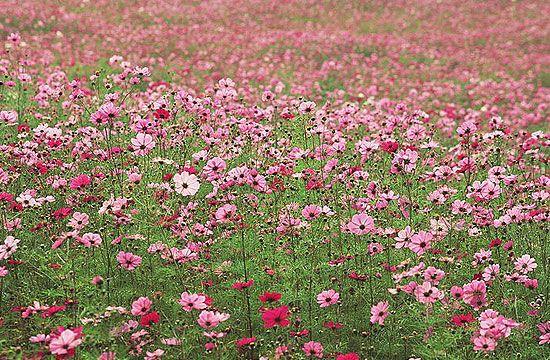 A pillangóvirágok is nagyon kedveltek, mert viszonylag kevés törődést igényelnek.