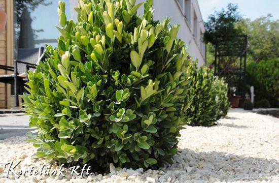 A gömb alakú puszpáng a modern kertek jellegzetes növénye