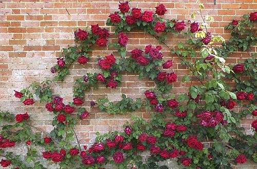 Romantikus és mediterrán a rózsa