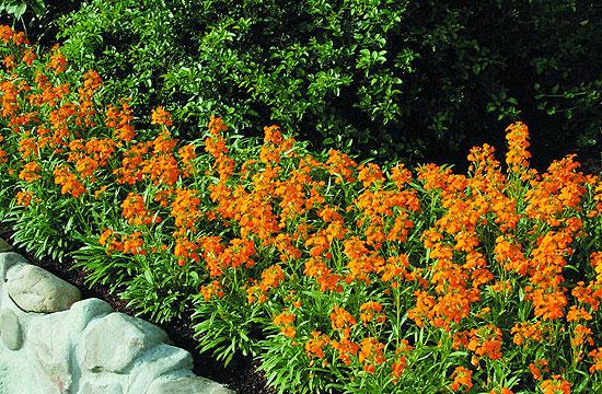 A sárgaviola felélénkíti a sok fehéz virágot