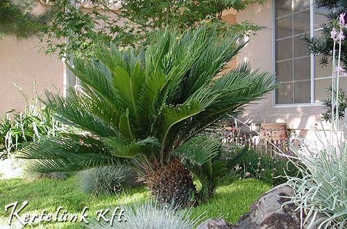 A szágópálma szintén egy mediterrán növény mely itthon is ültethető