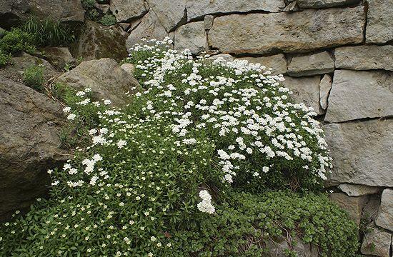 A tatárvirág is kifejezetten sziklakerti növény