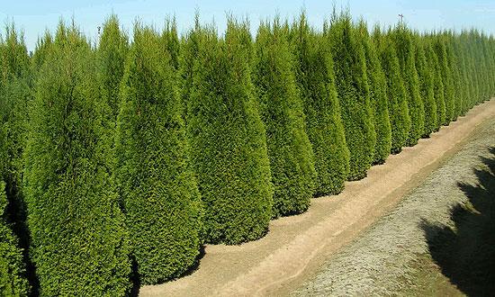 Az egyik legnépszerűbb sövény növény a thuja