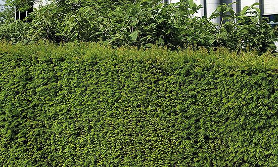 Szintén kedvelt örökzöld a tiszafa