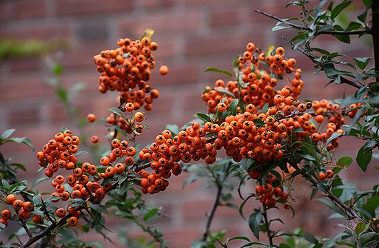 A tűztövis pedig narancs színfoltot visz a kertünkbe